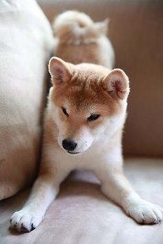 shiba inu - if I ever feel prepared to face the challenge that is owning one of this beauties i'll name him Yujiro