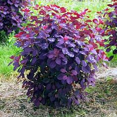 Smoke bush: red/purple in spring, deep purple in summer, red/orange in fall. Drought tolerant.