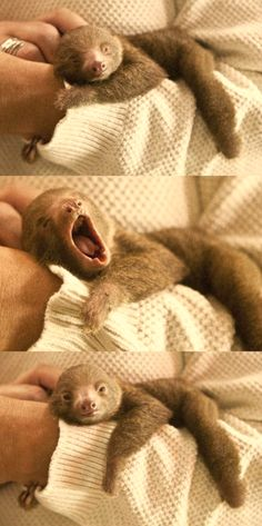 Okay, so I just searched for baby sloth on Pinterest. *WARNING* If you want an overload of cute, search Baby Sloth on Pinterest. IT'S SO DAMN CUTE I THINK I'M GONNA DIE SOMEONE HELP.