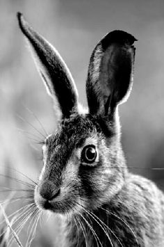 #hare #black #white #friend #beauty // #feldhase #schwarz #weiss #hase