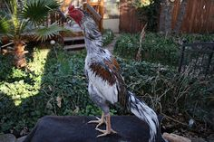 KING GHAZI: Brazilian Asil Rooster Breeds, Cat Breeds, Chicken Roost, Pigeon Pictures, Chicken Breeds, Picture Description, Dog Cat, Bird, Quail