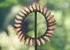 Richard Shilling - Sycamore Seed Sun Sycamore Seeds pinned to a dogwood frame with thorns
