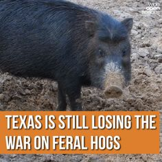 Since Texas started removing hogs in 1982, there are now more than 10 times as many within the state's borders.