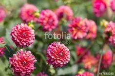 Blumenbeet mit violett blühenden Dahlien im Spätsommer, dahlia, Schnittblumen, Gärtnerei, Botanik