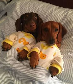 Dachshund clothes are difficult to find. As you may already know, the dachshund breed has a very odd body. Find Dachshund clothes that actually fit. Cute Baby Dogs, Cute Little Puppies, Cute Dogs And Puppies, Cute Little Animals, Cute Funny Animals, Puppy Love, Dachshund Clothes, Funny Dachshund, Dachshund Puppies