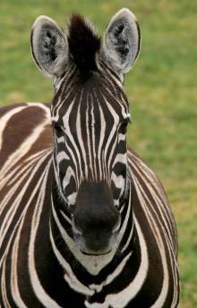 Zebra - Werribee Zoo ~ #Victoria #Australia