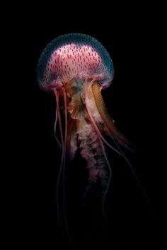 insolacion:  Purple jellyfish (2012) byFrédéric Lechat