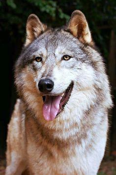 BEAUTIFUL WOLF....