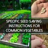 Specific Seed Saving Instructions for Common Vegetables