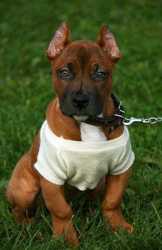 cachorro de pitbull muy atento Pitbulls, Dogs, Animals, Breeds Of Small Dogs, Animales, Pit Bulls, Animaux, Pet Dogs, Pitbull