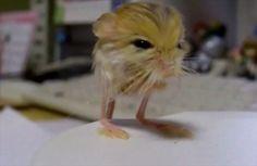 大きさは500円玉、重さは3.2gの世界最小のネズミ - http://naniomo.com/archives/5518