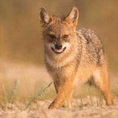 Golden Jackal photographed during Finnature photography tour to Danube delta, Romania. By @jari_peltomaki