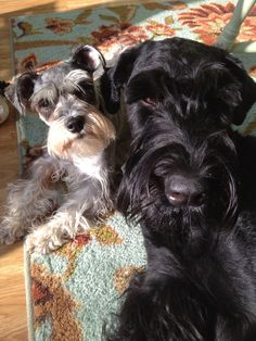 Pretty girls!! Mini and giant schnauzer! Omg got to get me a pair of these beauties!!!