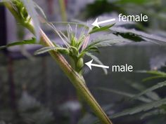 What are hermaphrodites? ( marijuana cannabis )
