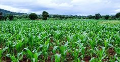 There is anxiety among farmers in Northeastern Nigeria as the invasion of the African Armyworm has spread to the area with the Federal Government saying it needs N2.98 billion to check the pest nationwide.  The African Armyworm (Spodoptera exempta) also called nutgrass armyworm is an African moth capable of destroying entire crops in a matter of weeks.  The outbreak of the caterpillars in several western African nations has raised alarm with the UN Food and Agriculture Organisation.  The…