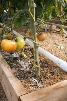 Mittleider Method Watering...victoria's vegetables