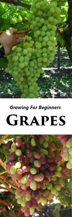 How to Grow Grapes, Growing Your Own Grapes #gardening #vegetablegardening