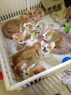 nothing cuter than corgi pups