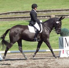Mule dressage... Haha, I can't get over the ears!