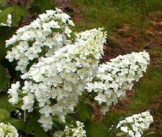 Hydrangea quercifolia snowflake - Oak Leaf hydrangea with double Oakleaf Hydrangea Landscape, Hydrangea Landscaping, Hydrangea Garden, Landscaping Plants, Hydrangea Quercifolia, Types Of Hydrangeas, Pruning Hydrangeas, Water Type, Trees And Shrubs