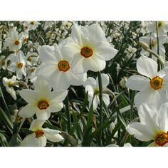Daffodil Poeticus Actaea bulbs per pkg Ships Oct thru Jan) Garden Seeds, Planting Seeds, Garden Bulbs, Daffodils, Lavender, Bloom, Flowers, Plants, Ships