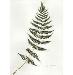 Love ferns so much, really want a tattoo of one.