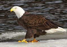 Aspundir: STUNNING SEA EAGLE