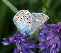 Hopeasinisiipi, Plebeius amandus - Perhoset - LuontoPortti Spiders, Finland, Creepy, Butterflies, Insects, Scenery, Birds, Nature, Life