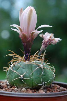 Gymnocalycium sp | Flickr - Photo Sharing!