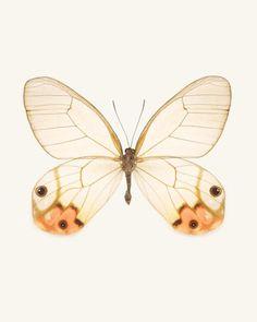Orange Glasswing Butterfly Photo - fine art print by Allison Trentelman | rockytopstudio.com