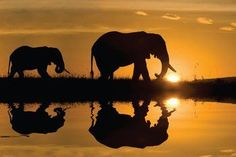 African Elephant Silhouette - NAT36613