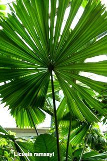 Palm Licuala ramsayi