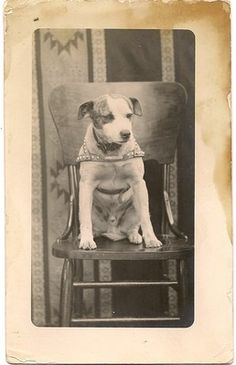rppc pit bull dog? sitting on high chair