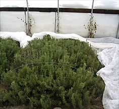 """Rosemary overwintering in high tunnel at Kingbird Farm, Berkshire, N.Y."""