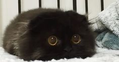 13 cats with the biggest eyes you've ever seen