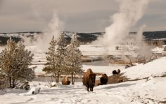 Bison in Yellowstone National Park!