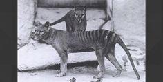 Which large carnivorous Australian animal went extinct in 1936?