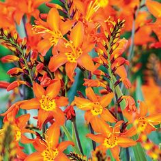 Set your garden ablaze with the brilliant oranges and reds of the Fire King Crocosmia. Vibrant flowers and gracefully arching stems make this a must-have. Perennial Bulbs, Sun Perennials, Summer Bulbs, Spring Bulbs, Hummingbird Plants, Crocosmia, Sun Loving Plants, Flower Beds, Beautiful Gardens
