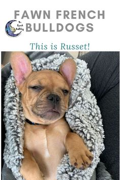 Hi! I'm Russet a fawn male French Bulldog. Talk about handsome! This cutie has everything you could ask for: looks, personality and attitude! He loves living with his furever family in Colorado! #FrenchBulldog #FrenchBulldogs #FrenchBulldogpuppy #FrenchBulldogpuppies #TheFrenchBulldog #cuteFrenchBulldogs #FrenchBulldogVideos #Frenchies #FawnFrenchBulldogs French Bulldog Names, Fawn French Bulldog, French Bulldog Puppies, French Bulldogs, Mans Best Friend, Best Friends, Love French, Puppy Food, The Little Prince