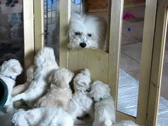Bichon Frisé Welpen-Mama kommt zu Besuch..love this, Reminds me when Ellie my now 13yr old Bichon had litter of 7 puppies....She was great mummy aswell, still is to Sindy the pup we kept with her ❤️