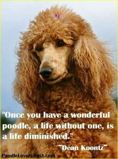 Popular for their trainability and pleased dispositions, the golden and Labrador retrievers are the choice animal for many American households. They are likewise popular as disability support pet dogs. Red Poodles, French Poodles, Standard Poodles, Poodle Haircut, Poodle Hairstyles, Dog Dye, Poodle Cuts, Poodle Grooming, Dog Grooming Business