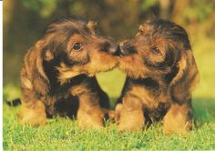 Postcard of dachshund puppies kissing ... and a cute doxie puppy video at my blog.
