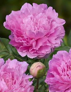 Dinner Plate is a perfect name for this PEONY variety with its very large flowers. Flowers are sweet smelling and very full. Flower opens easily. Very reliable variety.