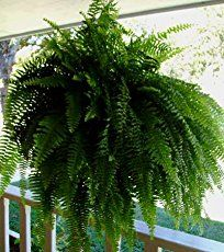 Caring for Boston Ferns indoors. Long, arching fronds make Boston fern a lush, graceful house plant for a hanging basket. Tips for watering, fertilizing, humidity.