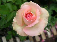 mint julep rose