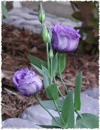 Beautiful Flowers_Lisianthus