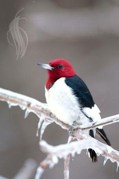 red, black and white bird in the winter