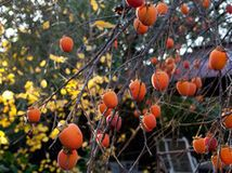 beautiful fruit, vivid fall leaves