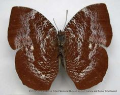 This butterfly was collected at 1600m in West Colombia by Mr. F. Blanchford in July 1908