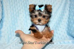 Star Yorkie Kennel - Teacup Yorkies, Maltese, Pomeranian and other Teacup Puppies for sale Tiny Puppies, Little Puppies, Little Dogs, Cute Puppies, Maltese Puppies, Poodle Puppies, Rottweiler Puppies, Teacup Yorkie For Sale, Teacup Chihuahua